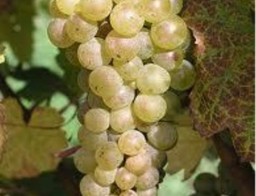 The Big Six of Grapes: Part One: Introduction & Riesling