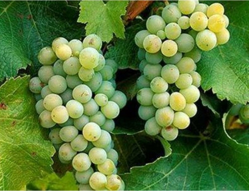 The Big Six of Grapes: Part Two: Sauvignon Blanc