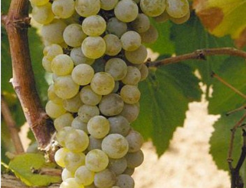 The Big Six of Grapes: Part Three: Chardonnay