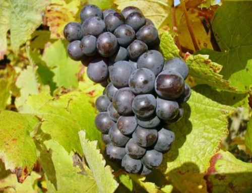 The Big Six of Grapes: Part Four: Pinot Noir